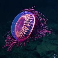 Esta espectacular medusa, que ilumina el océano como fuegos artificiales fue vista en Archipiélago de Revillagigedo, México