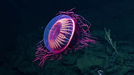 Hallan un animal 'extraterrestre' en profundidad del agua — Vídeo