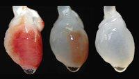 Progresos en la creación del primer corazón bioartificial de la historia