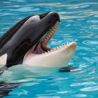 Adiós a la cría en cautividad de orcas en Seaworld: ¿cuál es la situación de los mamíferos marinos en los parques?