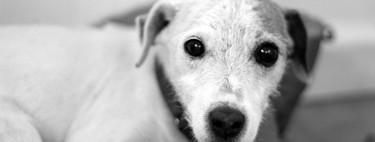 El amor es químicamente evidente después de que los perros y sus dueños se miran a los ojos
