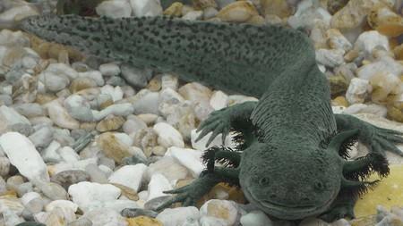 """""""Refugio chinampa"""" el proyecto con el que investigadores de la UNAM quieren salvar de la extinción al axolotl en México"""