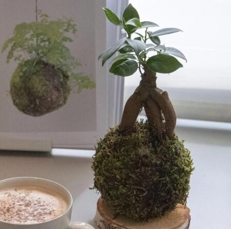 Kokedama Ficus2