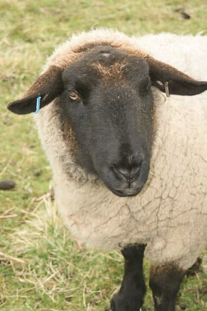 No subestiméis a las ovejas