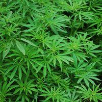 2020 será el año de la cannabis en México: Secretaría de Salud emitirá reglamento para uso medicinal de marihuana