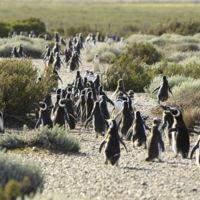 Las principales reservas donde ver pingüinos en la Patagonia argentina