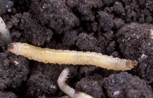 Diabrotica Virgifera Virgifera Larvae