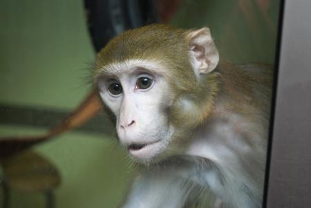 El uso de monos para la investigación está justificado: sin ellos no tendríamos muchos tratamientos