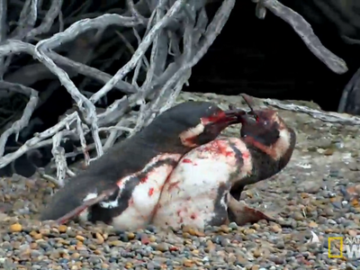 No vas a ver nada tan espeluznante hoy como estos dos pingüinos peleando a vida o muerte por una hembra