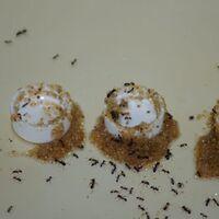 Para evitar ahogarse, esta especie de hormigas es capaz de usar herramientas