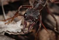 Hormigas: los genios de la comunicación química