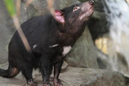 Tasmanian Devil 185719 960 720