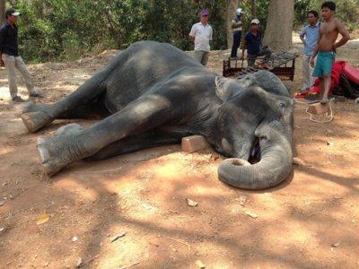 Este elefante ha transportado turistas durante 15 años: ha muerto exhausto