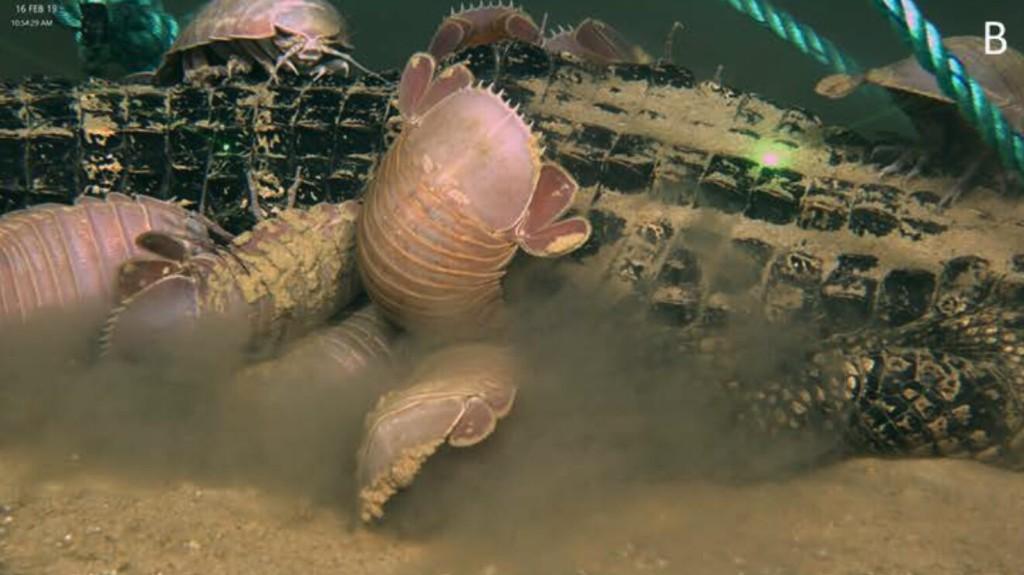 Crustáceos carnívoros, gusanos devorahuesos y cuerpos desaparecidos: el misterio científico de los caimanes en el fondo del mar