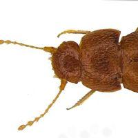 Esta nueva especie de escarabajo ha sido bautizada en honor a la activista Greta Thunberg