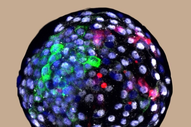 Se han introducido con éxito células madre humanas en embriones de mono en el laboratorio y han vivido 20 días