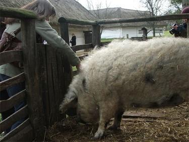 Mangalica, un cerdo húngaro de pelo rubio, largo y rizado
