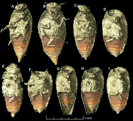 Tiny Beetle Triamyxa Coprolithica 777x710