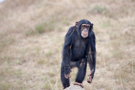 Chimpanzee 2132755 1280