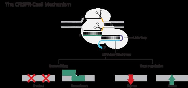 Our Programs Crispr Cas9 Gene Editing