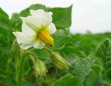 Cazando Mitos Nutricionales: Las patatas engordan