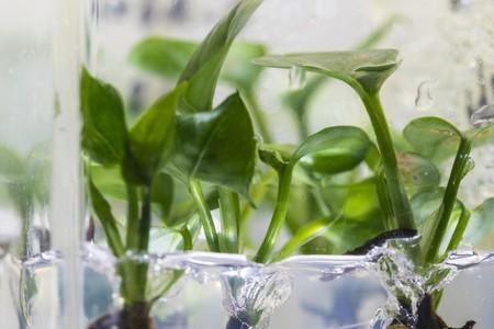 Estas plantas modificadas genéticamente actúan como purificadores de aire para el hogar