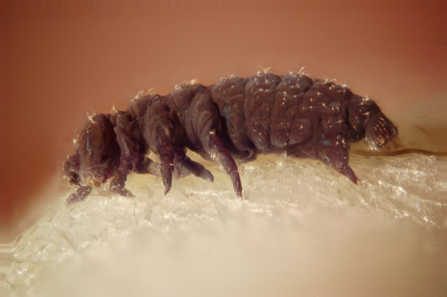 Collembola From The Drainage Of A Hot Spring In Lassen County California Stacked Macro 10x