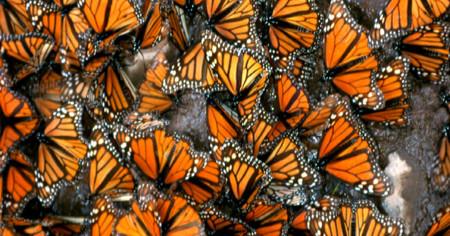 Mariposa Monarca 01