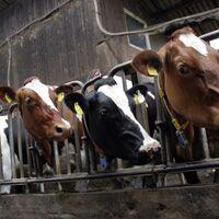 Tenemos una solución muy sencilla a nuestras emisiones de metano: dar de comer algas a las vacas