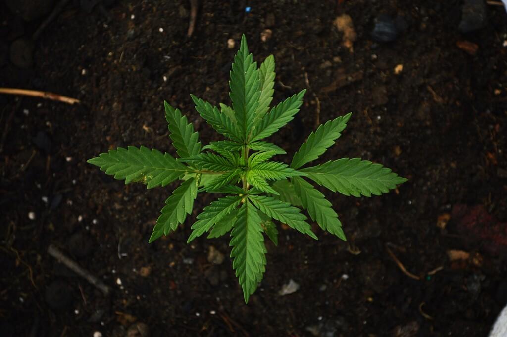 La ley ya no prohíbe el consumo de mariguana con fines lúdicos en México: la Suprema Corte