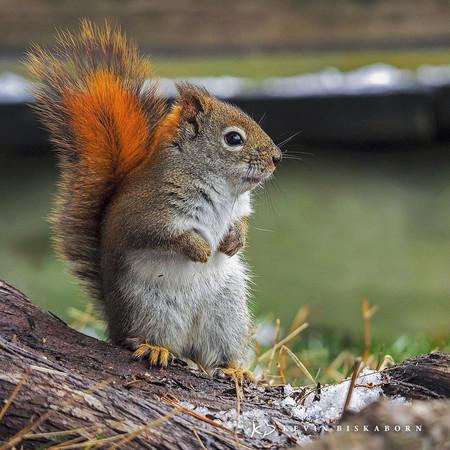 Kevin Biskaborn Red Squirrel