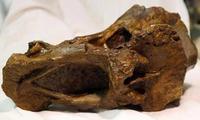Descubierta una nueva especie de dinosaurio en el sótano del Museo de Historia Natural de Londres