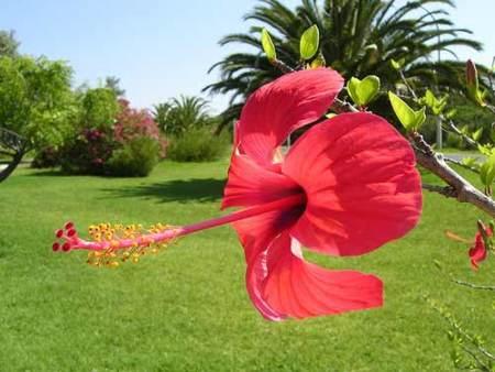El hibisco, una planta libre de sustancias estimulantes