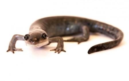 Esta salamandra se queda embarazada de varios machos a la vez