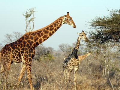 Las jirafas avanzan un paso hacia la extinción, de no tomar medidas podrían desaparecer en pocos años