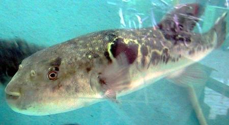 El pez fugu, el mochi y otras comidas que pueden matarte