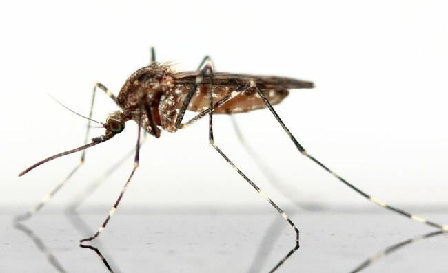 Mosquito 83639 1920