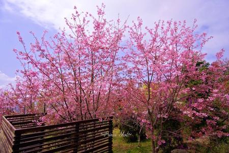 Cherry Blossom Sakura In Alishan Chiayi Taiwan