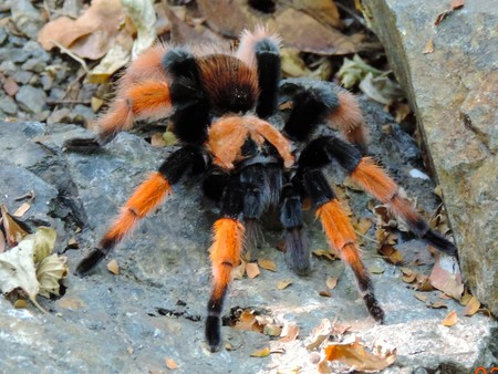 México no es el primer país exportador de tarántulas mexicanas, Canadá cría hasta 14 especies
