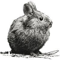 El Conejo Teporingo del Nevado de Toluca está extinto de acuerdo a la UAEMex, pero ¿por qué es importante?