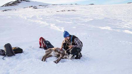 Norwegian Reindeer Online