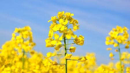 Lo Que Debes Saber Del Aceite De Canola Que Es Beneficios Flor
