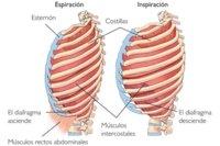 Los músculos que intervienen en la respiración