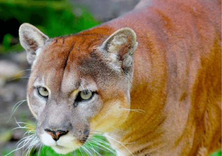 Figura 14 Puma Puma Concolor
