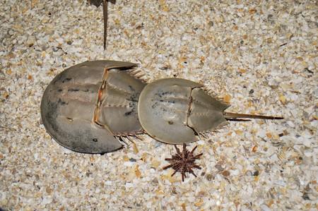 Horseshoe Crab 1438431 1920