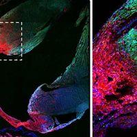 El corazón adulto no contiene células madre