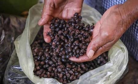 Hormigas chicatanas: el inusual ingrediente de la comida mexicana que cada año traen las lluvias