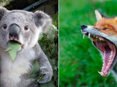 ¿Te gustan los koalas? A los zorros australianos también. Y están empezando a comérselos