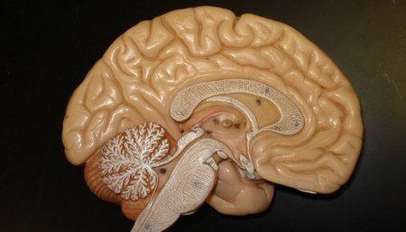 La Creatina puede ser beneficiosa para nuestro cerebro