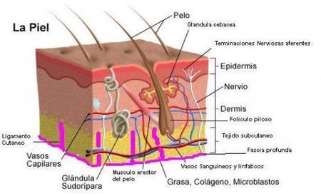 Las capas básicas de la piel